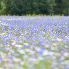 Põllutäis lilli