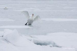 Luik libedal jääl