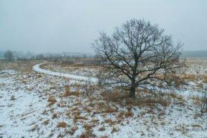 Vana tammepuu